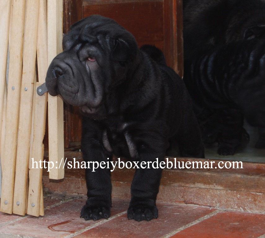 cachorro shar pei negro