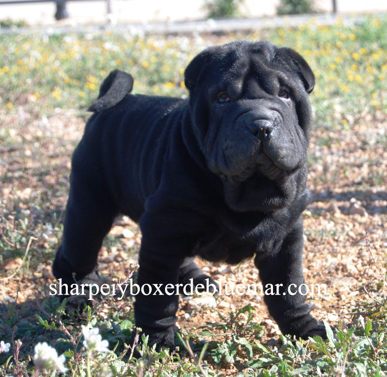 Cachorro Shar pei disponible