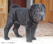 Panter Black de Bluemar