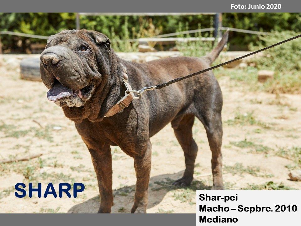 adopcion shar pei en madrid-sharp